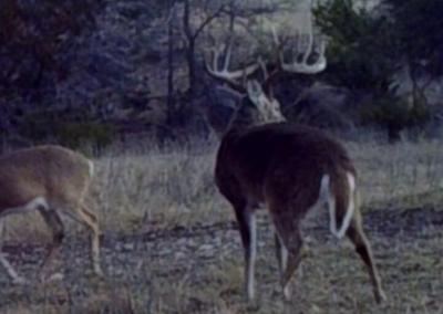 Central Texas Whitetail