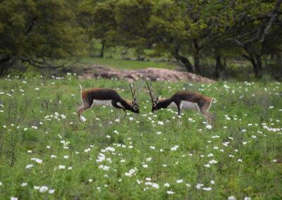 Blackbuck Fighting TX
