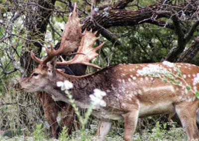 Fallow Deer Hunt in Central Texas