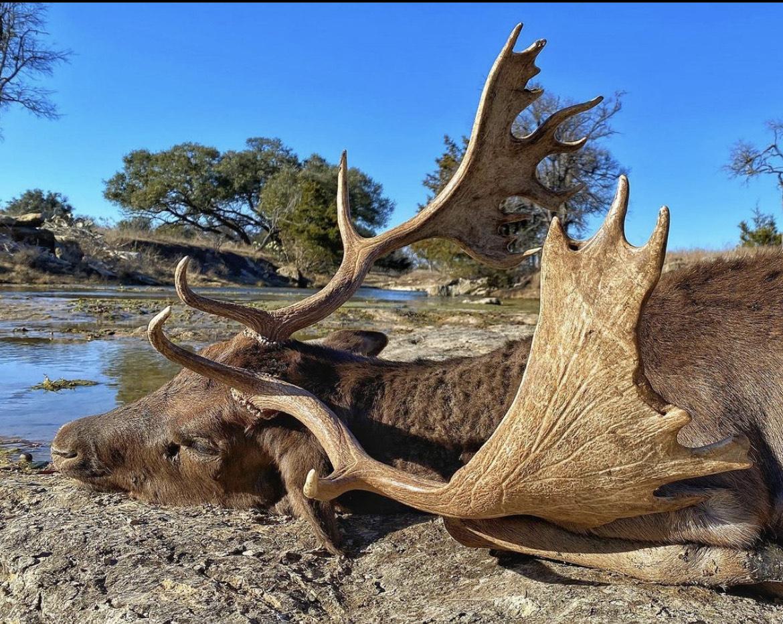 Texas Fallow Deer Hunt