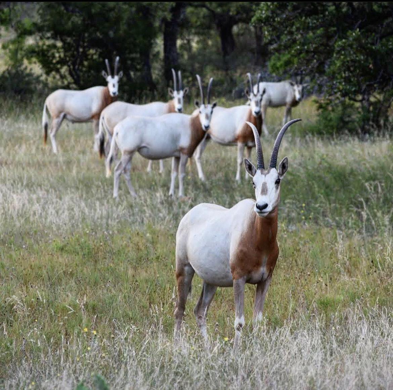 Scimitar Horned Oryx Texas