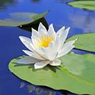 lotus in lake