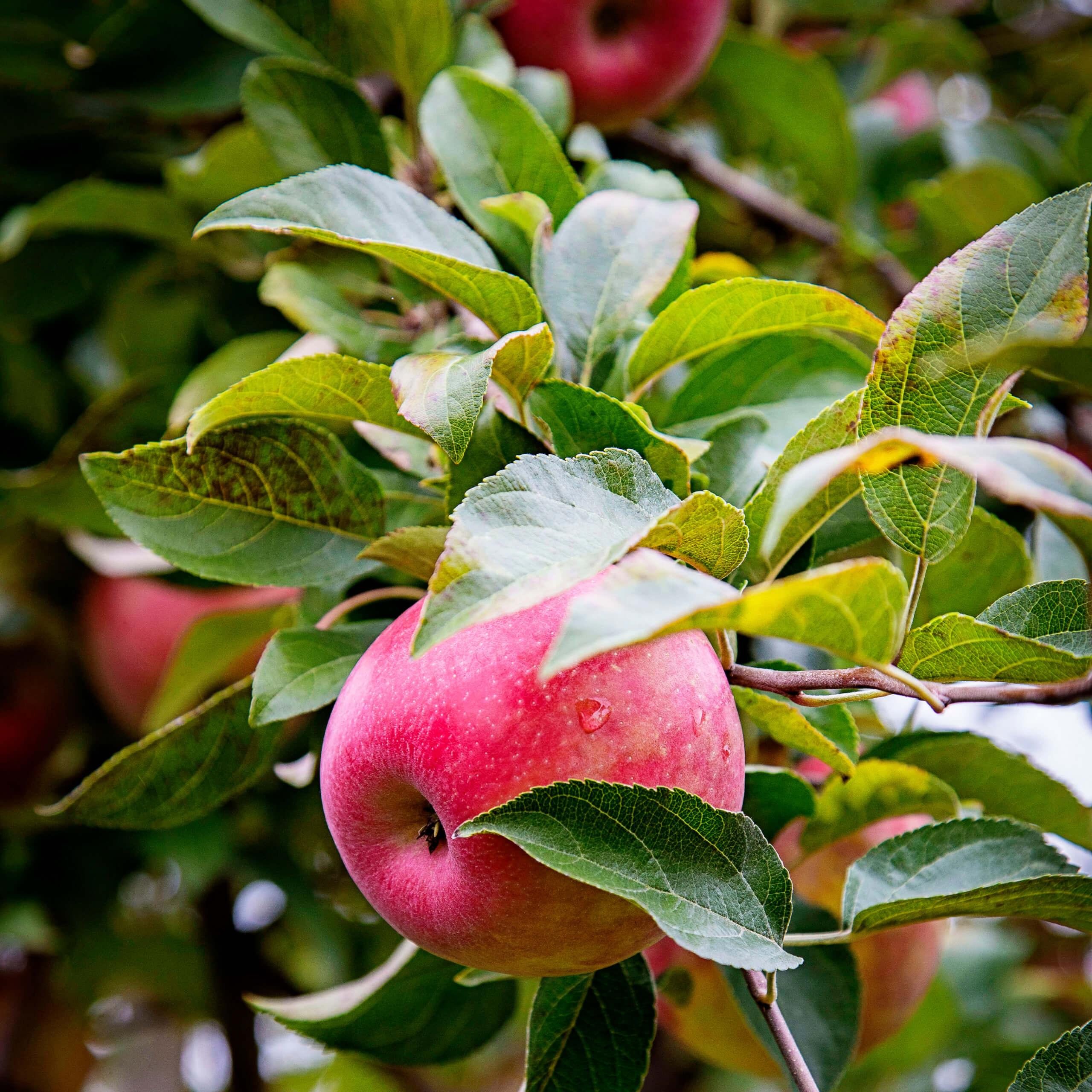 apple pciking at Spirit Tree