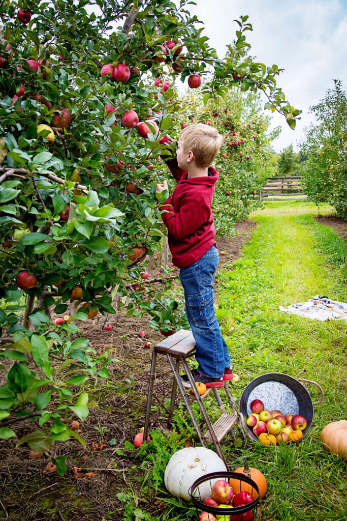A boy picking apples in the orchard