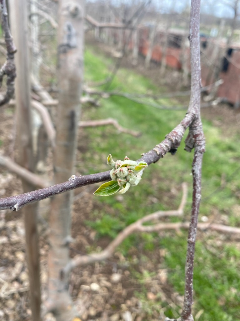 The buds are starting to appear on the apple trees in the Spirit Tree orchard