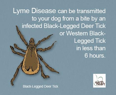 Deer ticks and Lyme Disease