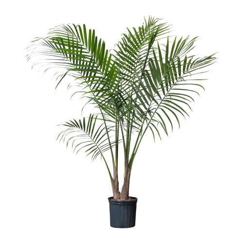 majesty-palm