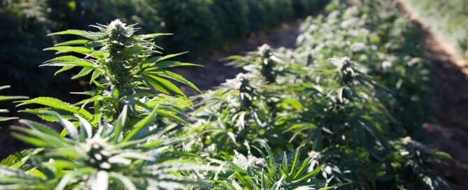 Wholesale Cannabinoids