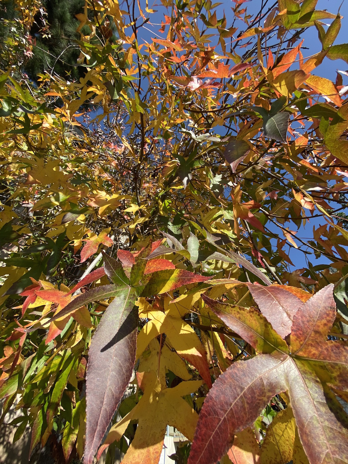 iphone 11 pro camera-fall leaves-orange county