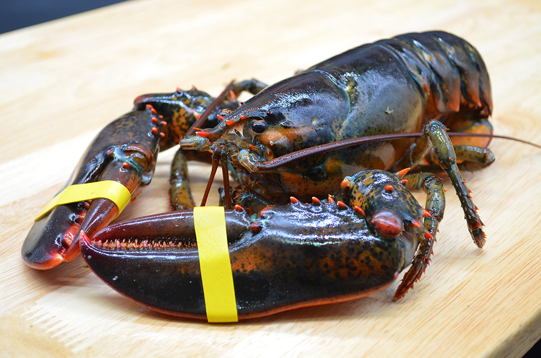 Bar Harbor Seafood live lobster with yellow bands on claws