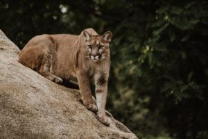 A mountain lion sits against a rock