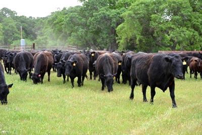 cows-corrals