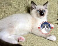 Mitted Seal ColourPoint