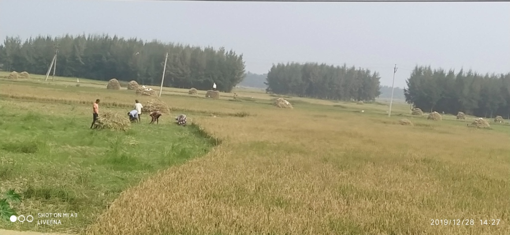 Paddy-Harvest