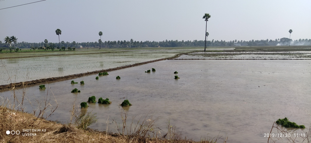Paddy-Sowing
