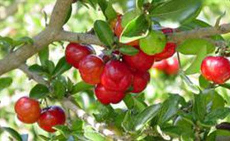 Barbados-Cherry-4