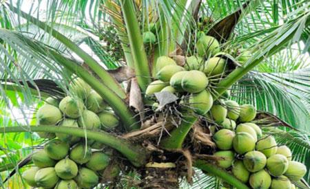 Coconuts-1