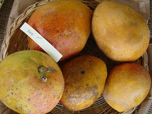Dot Mango's