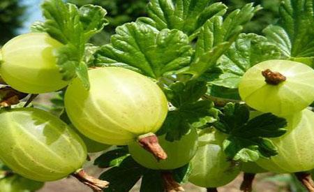 Gooseberry-1