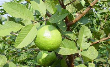 Guava-1