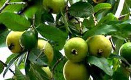 Guava-4