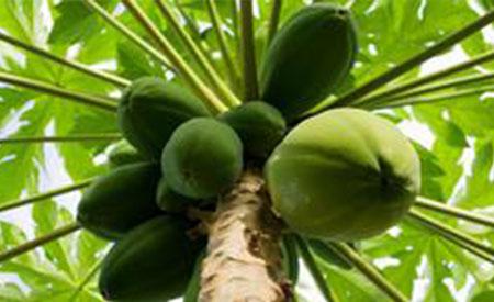 Papaya-4