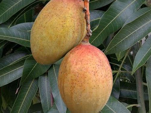 Pickering Mango's