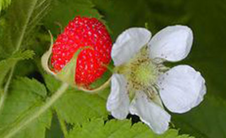 Raspberry-2