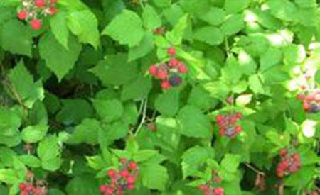 Raspberry-4