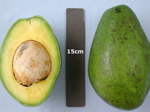 Simmonds Avocado