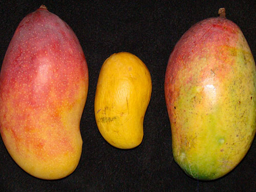 Valencia Pride Mangoes