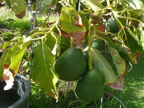 Wurtz Avocado