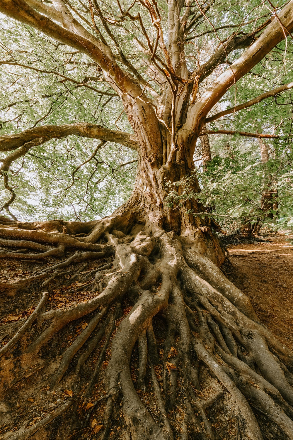 Tree with large root in forest go to the roots