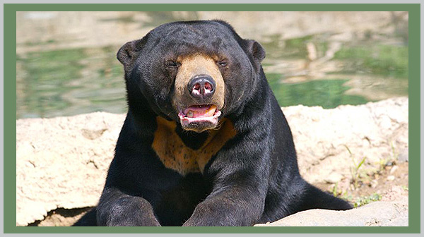 Malayan Sun Bear: a vulnerable species. Photo by Endangered Species Journalist Craig Kasnoff