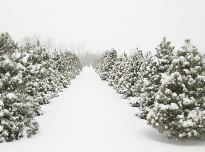 country-christmas-trees-farm-snowy-winter