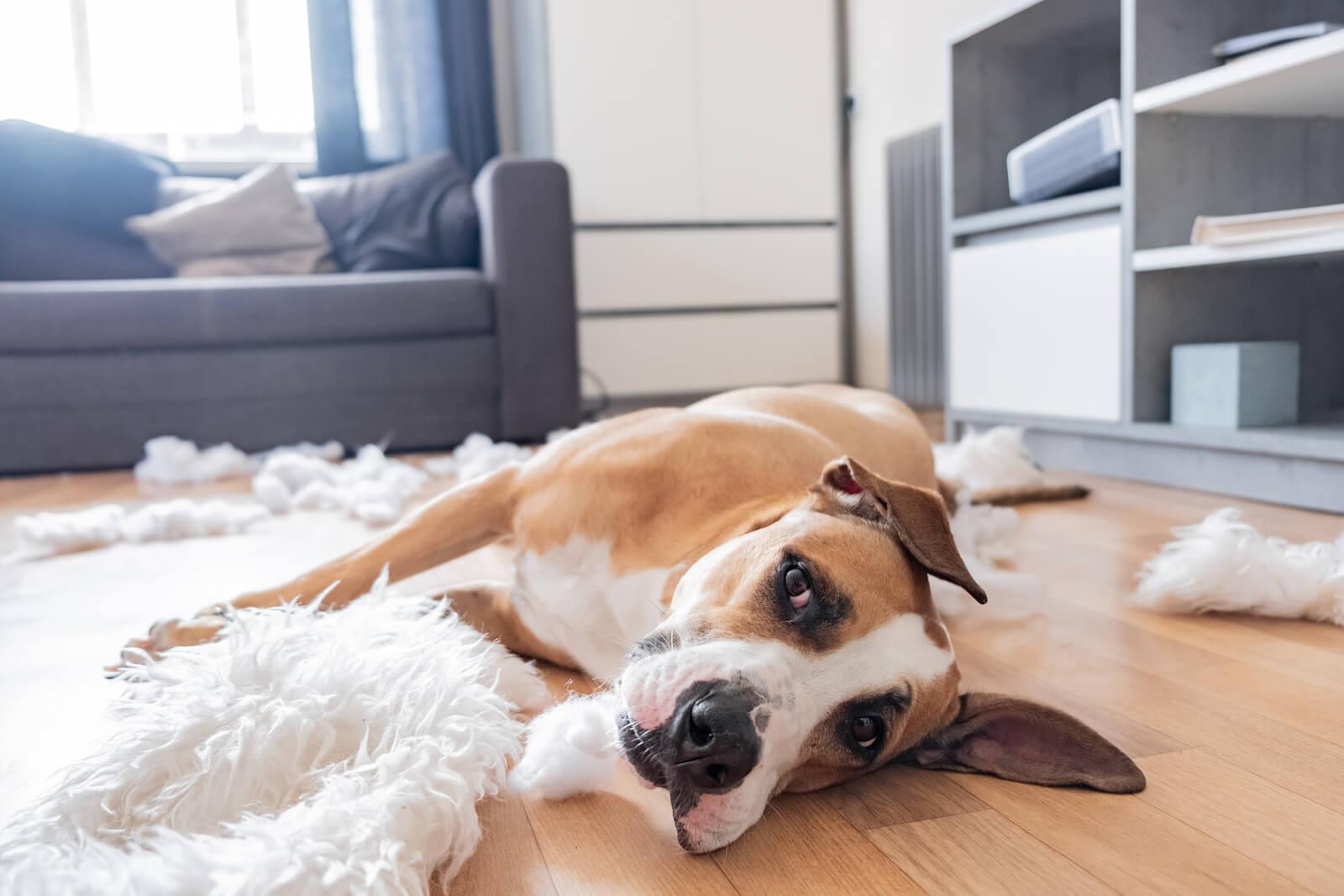 dog looking sad laying on a living room floor