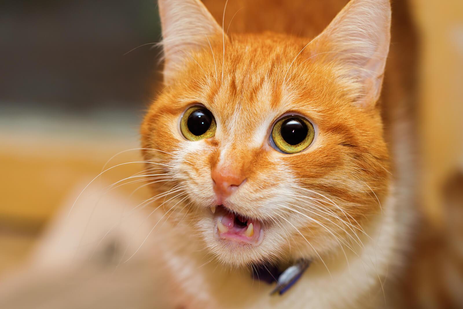 a cat talking