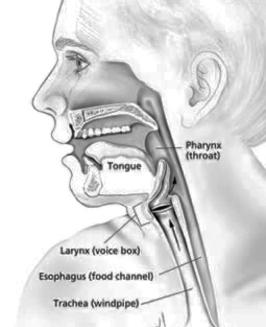 <b>Mouth and throat parts involved in&nbsp;swallowing</b>