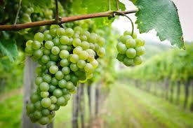 Picpoul Grape