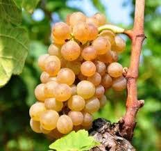 Roussanne Grape