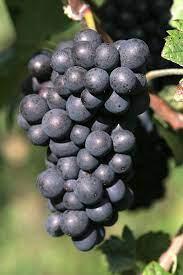 Pinot Meunier