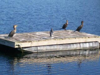Cormorants on Pond in Slough1