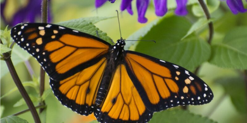 monarch butterfly cape Coral garden club