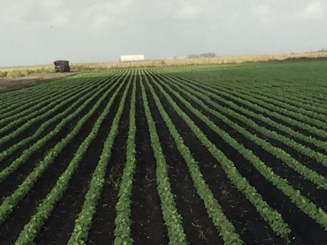US Sugar green beans