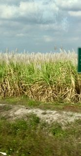 sugar cane from bus