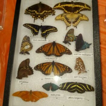Butterfly specimans display