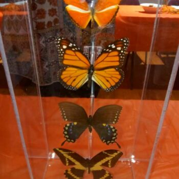Display of butterfly specimans