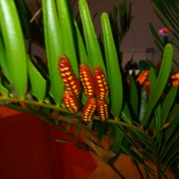 Butterfly developing on coontie