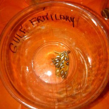 Gulf Fritallary Butterfly speciman
