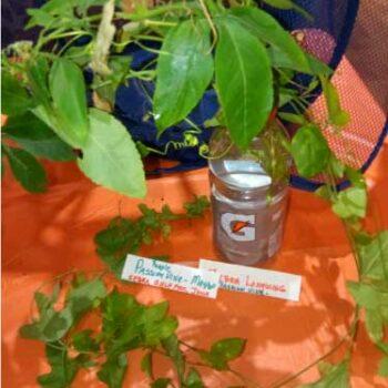 Host plant for butterflies